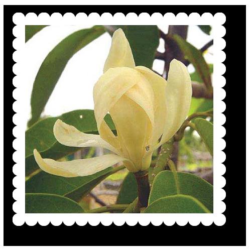 2543-magnolia-sirindhorniae